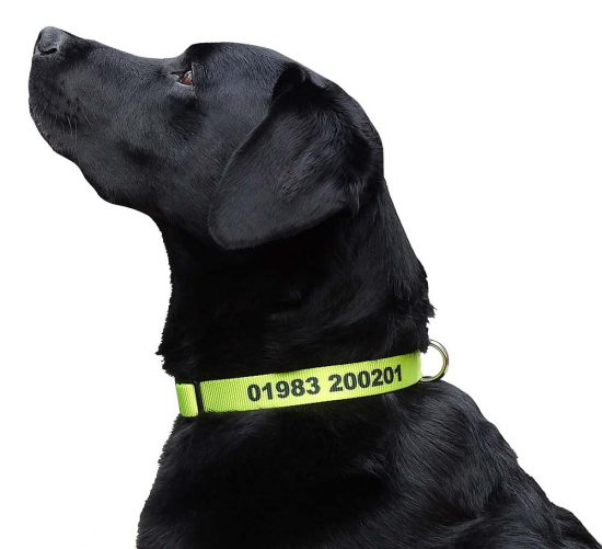 Reuben modelling a chartreuse large personalised dog collar